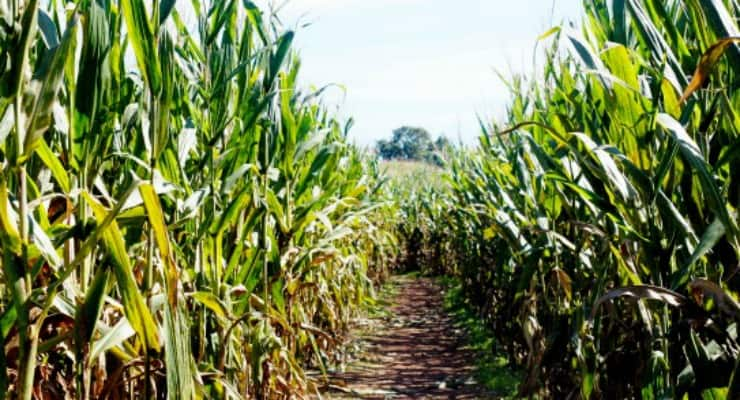 Get Lost in These 7 Corn Mazes Near Greenville – Kidding ...