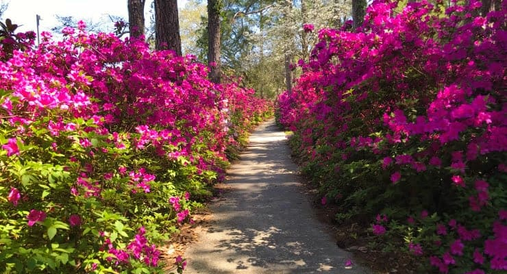 The Azaleas At Brookgreen Gardens